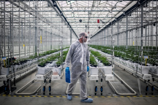 A worker checks cannabis plants in a greenhouse of Tilray medical cannabis producer's European production site in Cantanhede, on April 24, 2018. The Canadian company Tilray, which aims to become one of the world's leaders in the therapeutic cannabis industry, inaugurated its European production site today in the central Portuguese town of Cantanhede.